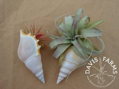 White Tibia shell