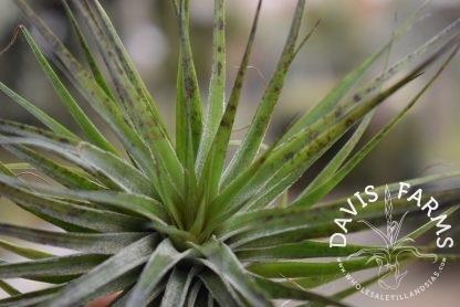 Tillandsia Houston compact green