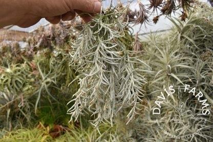 Tillandsia mollis clump