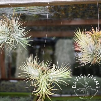 Tillandsias ionantha ionantha Guatemala clumps on wire