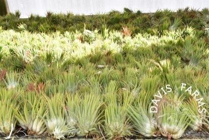 Tillandsia ionantha ionantha Guatemala, mature sizes