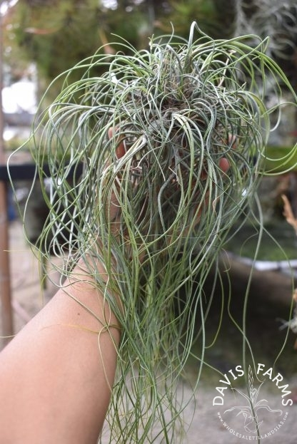 Tillandsia butzii clump on wire