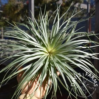 Tillandsia Houston giant green