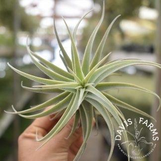 Tillandsia purpurea Spiral Select