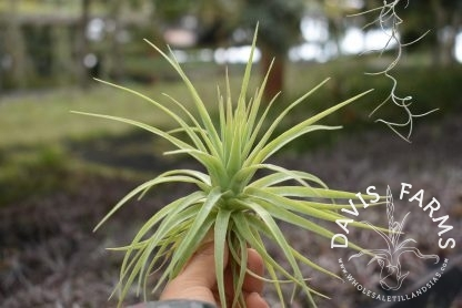 Tillandsia geminiflora, Grey form