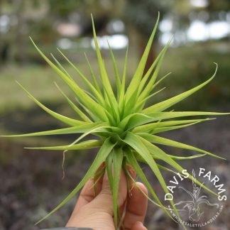 Tillandsia geminiflora, Green form