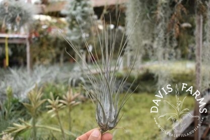 Tillandsia disticha, Giant form, grey