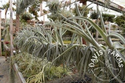 Tillandsia duratii, thick leaf