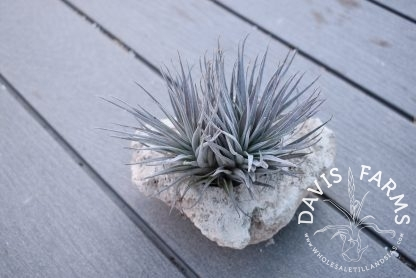 Tillandsia Houston in small pumice rock