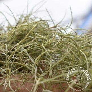 Tillandsia usneoides, Fine Green Type 2