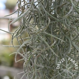 Tillandsia usneoides, Spanish moss, thick form