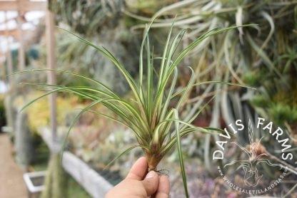 Tillandsia cyanea, Variegated form, medium