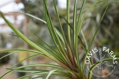 Tillandsia cyanea, Variegated form