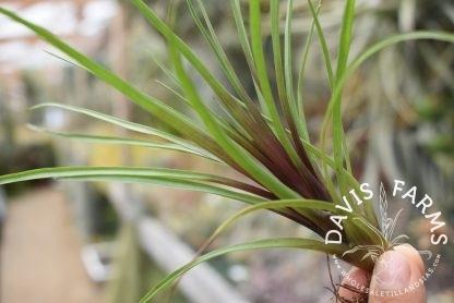 Tillandsia cyanea, Green form