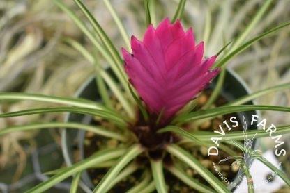 Tillandsia cyanea, variegated
