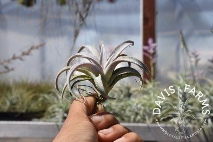 Tillandsia chiapensis, medium