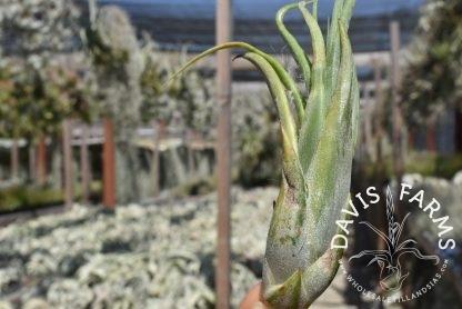 Tillandsia paucifolia, SALE