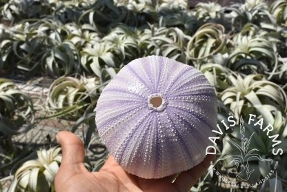 Purple Sea Urchin Shell, large