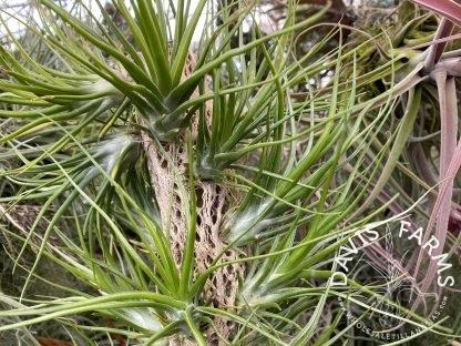 Tillandsia bulbosa Belize x scaposa