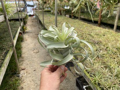 Tillandsia cauligera, white form wide leaf type 2