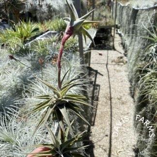Tillandsia latifolia vivipara type 2 thick form