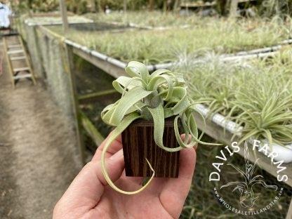 Wenge wood planter with streptophylla mini
