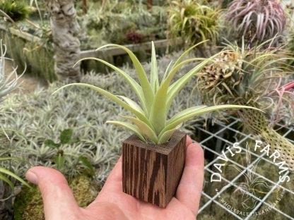 Wenge wood planter with secunda
