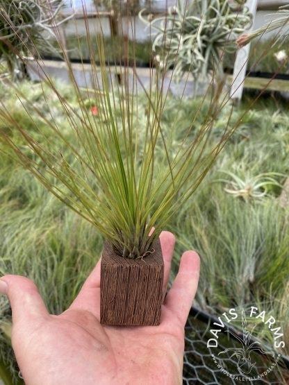 Wenge wood planter with juncifolia medium