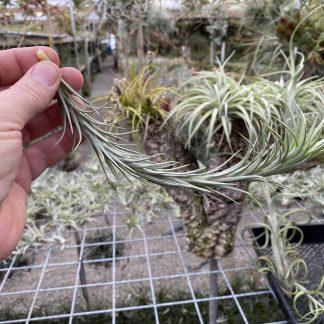 Tillandsia tenuifolia silver comb